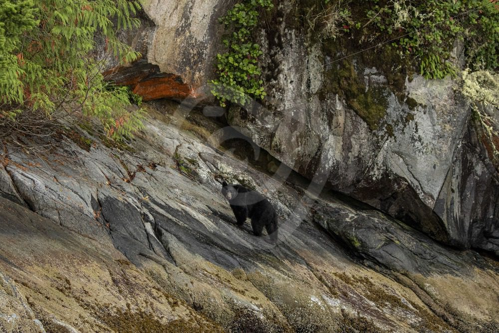 Black bear in the Canadian landscape - Nature Stock Photo Agency