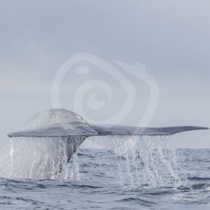 Blue whale fluke in the Azores - Nature Stock Photo Agency