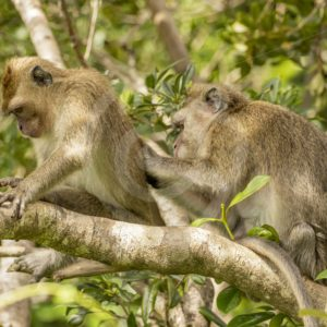 Couple of adult long-tailed macaques - Nature Stock Photo Agency
