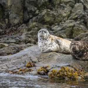 Couple of harbor seals relaxing on the rocks - Nature Stock Photo Agency