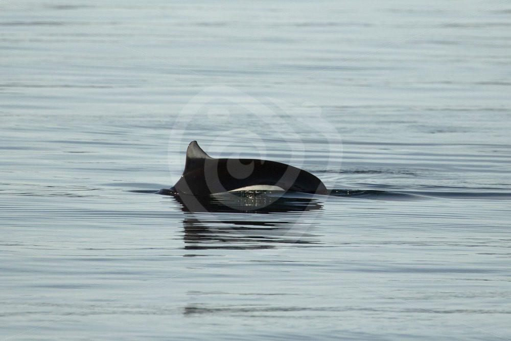 Elusive Dall's porpoise - Nature Stock Photo Agency