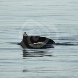 Elusive Dall's porpoise - Nature Stock Photo Agency