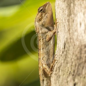 Garden lizard catching some sun - Nature Stock Photo Agency