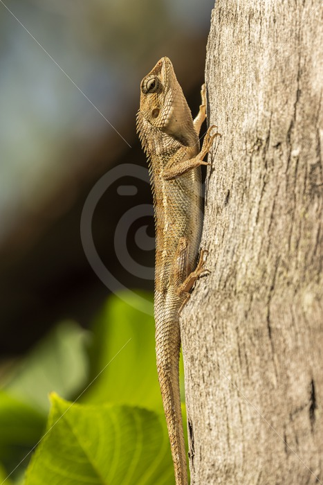 Garden lizard hanging in the sun - Nature Stock Photo Agency