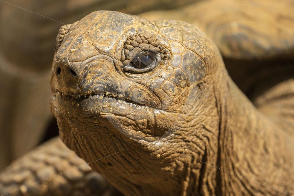 Giant Aldabra tortoise looking up - Nature Stock Photo Agency