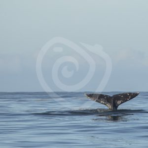 Gray whale fluke - Nature Stock Photo Agency