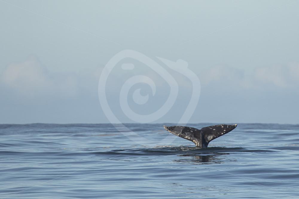 Gray whale fluke - Nature Stock Photo Agency