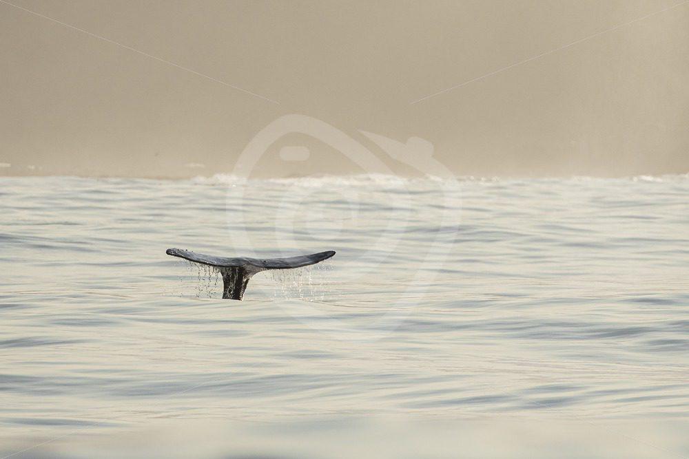 Gray whale fluke in illuminated ocean - Nature Stock Photo Agency