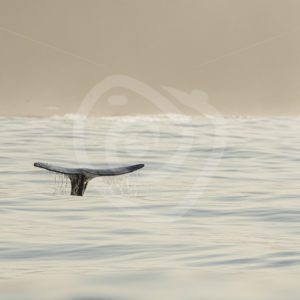 Gray whale fluke in illuminated ocean - Nature Stock Photo Agency
