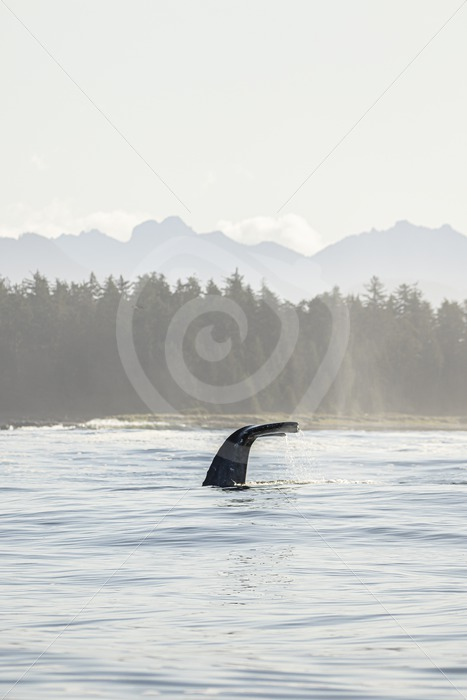 Gray whale fluke with light spectacle - Nature Stock Photo Agency