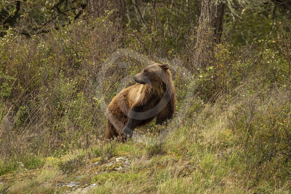 Grizzly bear in the Canadian woods - Nature Stock Photo Agency