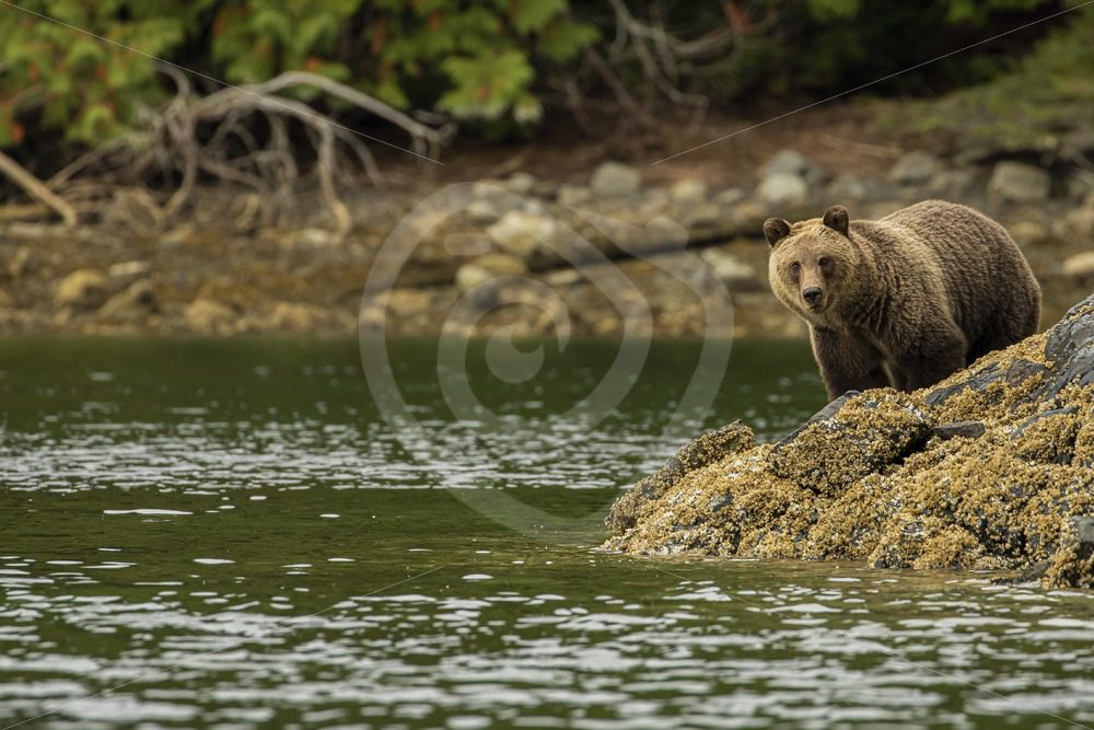 Grizzly bear looking over the inlet - Nature Stock Photo Agency