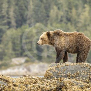 Grizzly bear overlooking the shore - Nature Stock Photo Agency