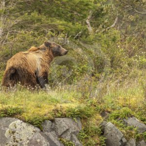 Grizzly bear walking near the percipice - Nature Stock Photo Agency