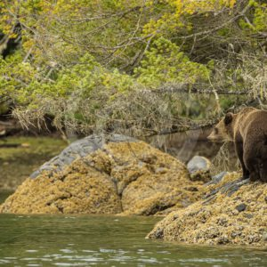 Grizzly bear walking the inlet shores - Nature Stock Photo Agency