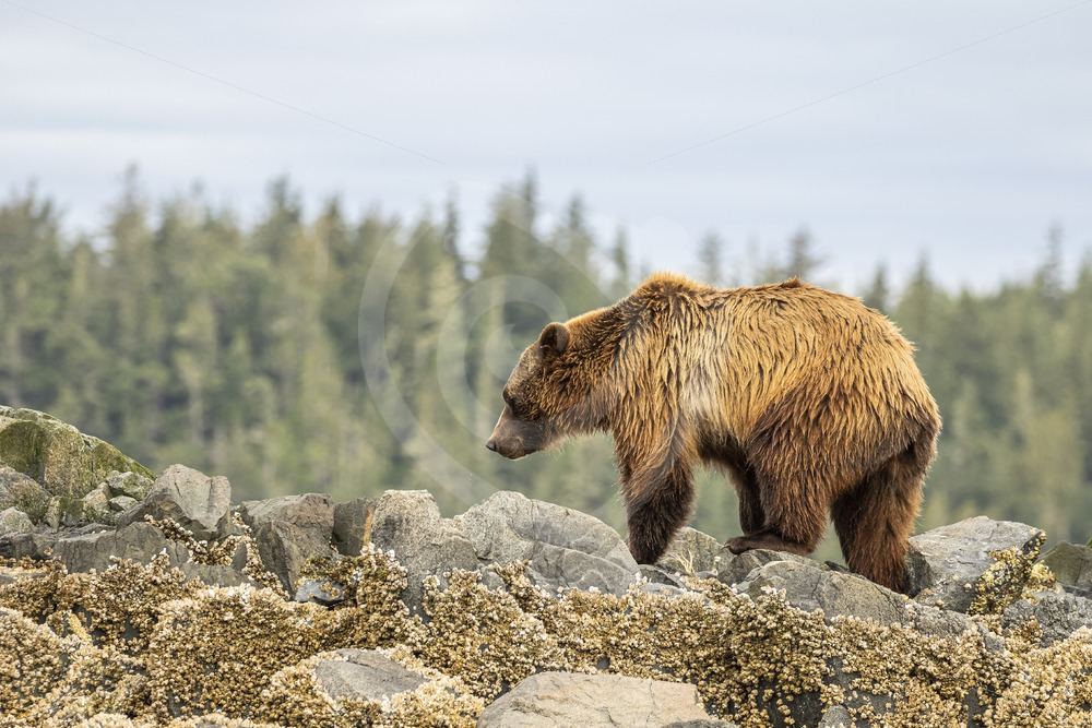 Grizzly bear walking the rocky shores - Nature Stock Photo Agency
