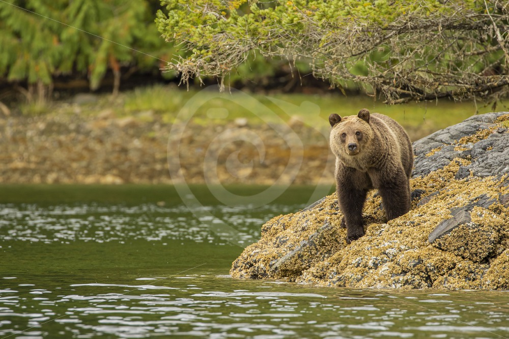 Grizzly bear watching you from the shore - Nature Stock Photo Agency