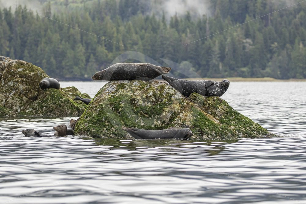 Group of common harbor seals relaxing on the rocks - Nature Stock Photo Agency