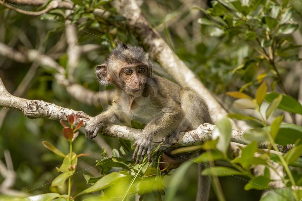 Juvenile macaque in the trees - Nature Stock Photo Agency