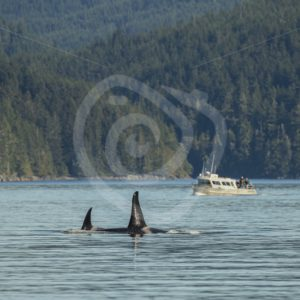 Killer whales in the knight inlet with passing boat - Nature Stock Photo Agency