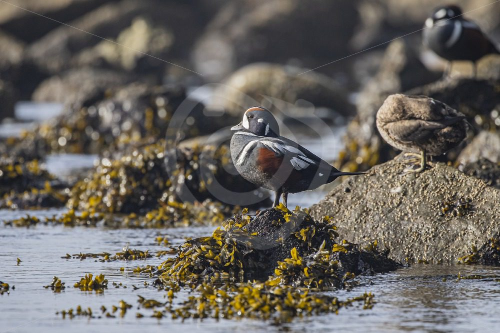 Male Harlequin duck on a rock - Nature Stock Photo Agency