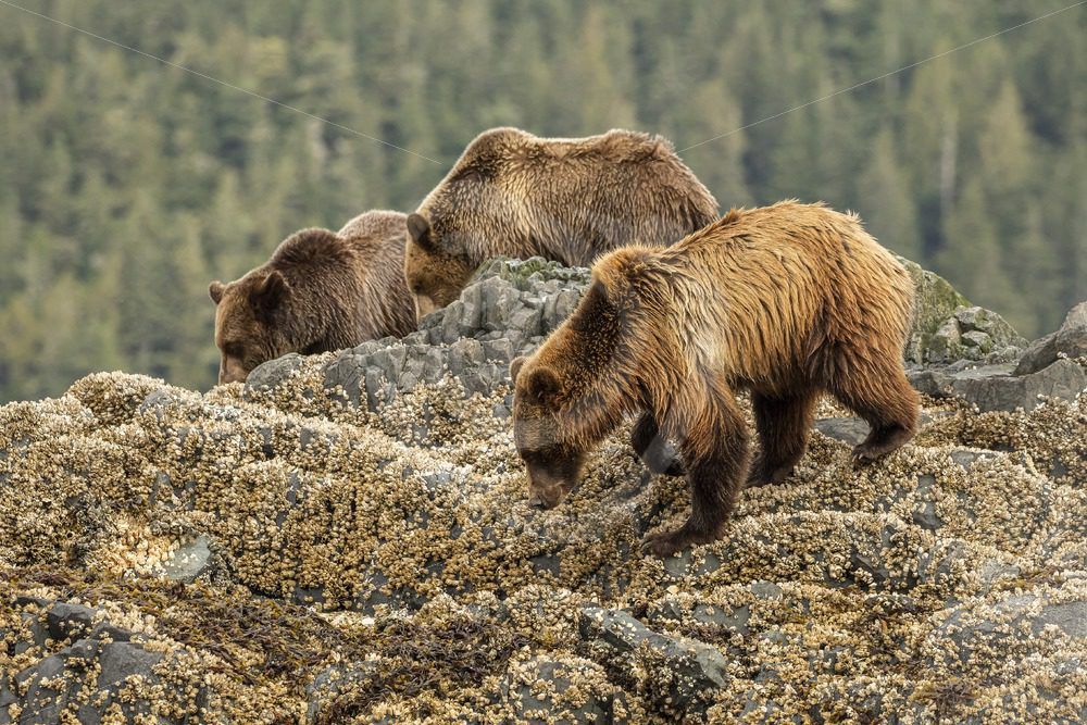 Mother bear with 2 youngsters - Nature Stock Photo Agency