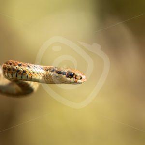 Northwestern garter snake close up - Nature Stock Photo Agency