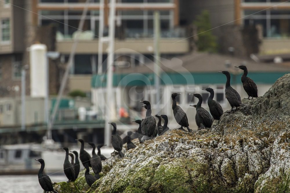 Pelagic cormorants colony in the harbour - Nature Stock Photo Agency