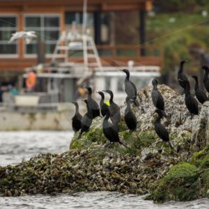Pelagic cormorants in the harbor of Tofino - Nature Stock Photo Agency