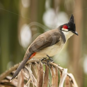 Red-whiskered Bulbul on a palm leaf - Nature Stock Photo Agency