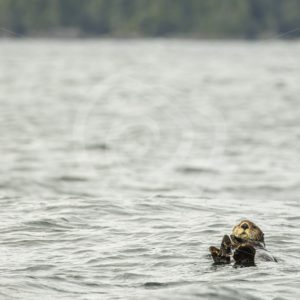 Sea otter hanging in the water - Nature Stock Photo Agency