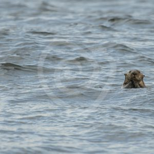 Sea otter having a look - Nature Stock Photo Agency