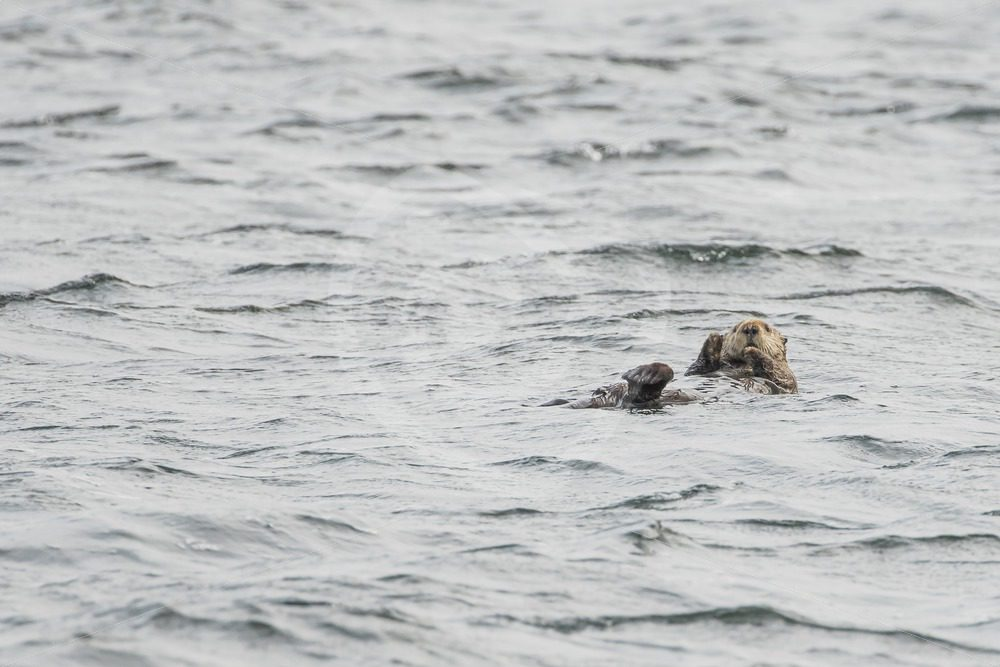 Sea otter relaxing in the ocean near Tofino - Nature Stock Photo Agency