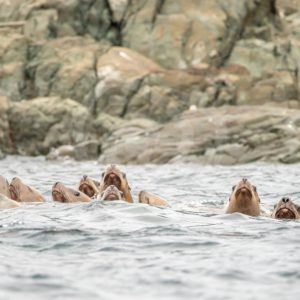 Steller's sea lions in the water - Nature Stock Photo Agency