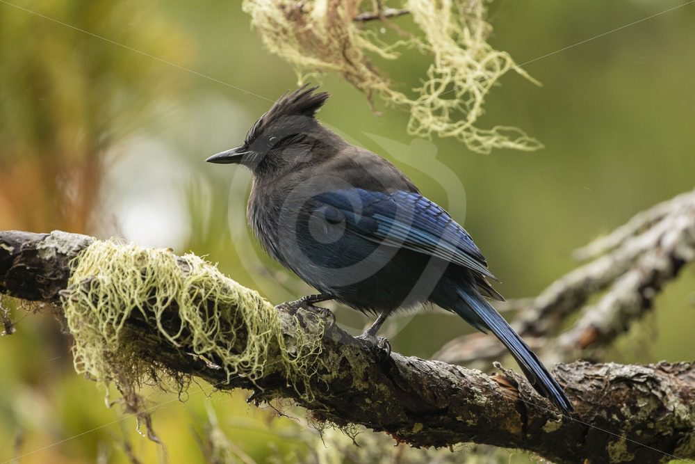 Steller's Jay on a branch with moss - Nature Stock Photo Agency