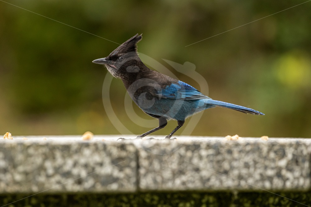 Steller's Jay on picnic table - Nature Stock Photo Agency