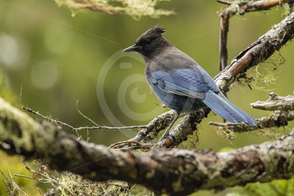 Steller's Jay on the lookout for some food - Nature Stock Photo Agency