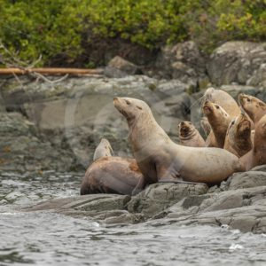 Steller's sea lion on the rocky shore near alert bay - Nature Stock Photo Agency
