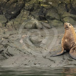 Steller's sea lion on the shore - Nature Stock Photo Agency