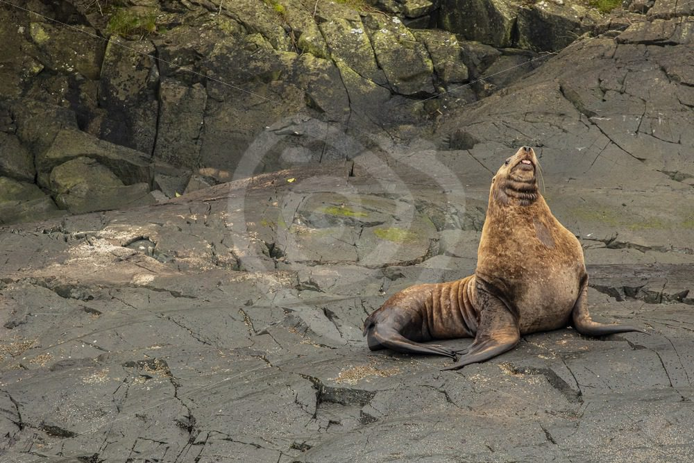 Steller's sea lion resting on the rocky shore - Nature Stock Photo Agency