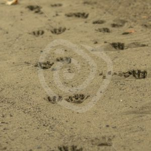 Tracks of a raccoon on a beach - Nature Stock Photo Agency