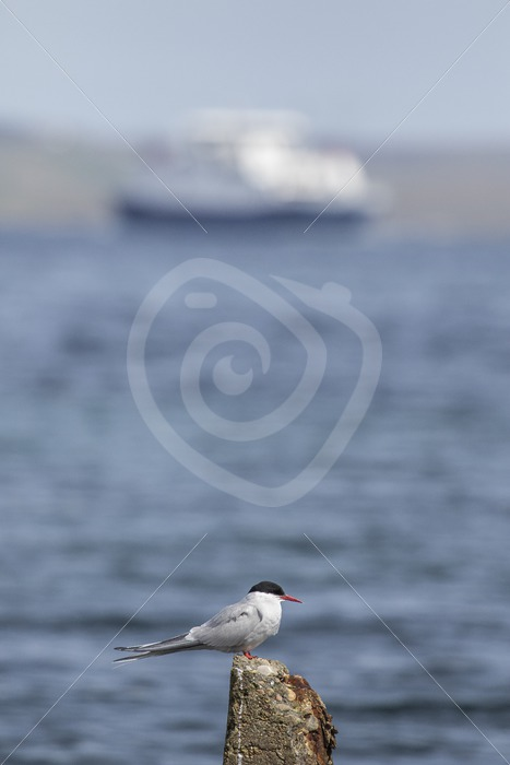 Arctic tern overlooking the harbor with ferry - Nature Stock Photo Agency