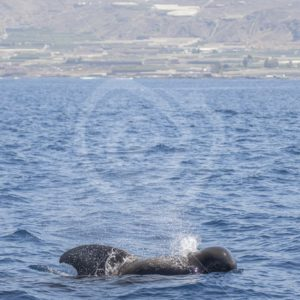 Areal view of Tenerife with short-finned pilot whale - Nature Stock Photo Agency