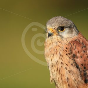 Common kestrel portrait - Nature Stock Photo Agency