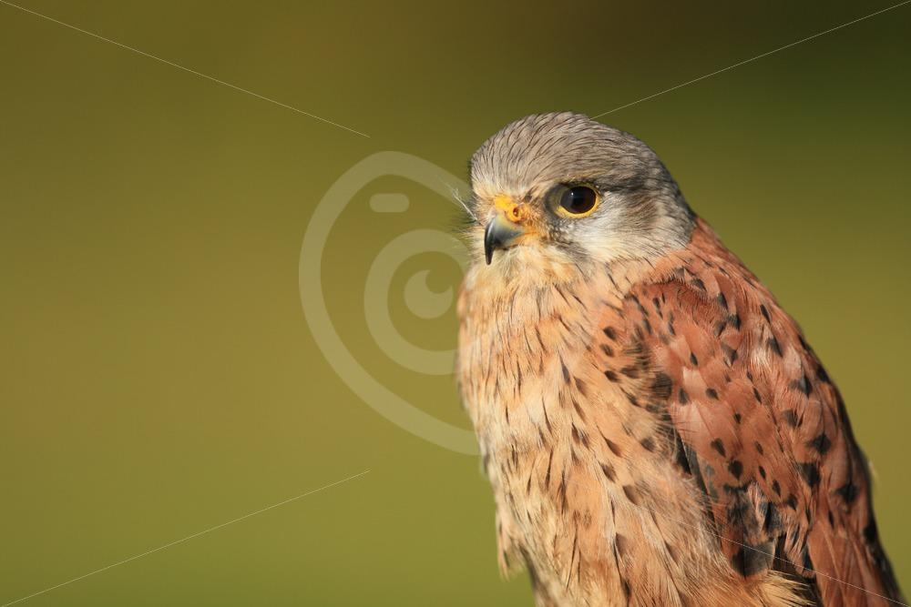 Common kestrel portrait - Nature Stock Photo Agency