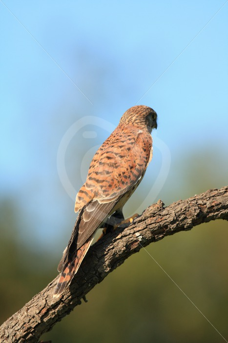 European kestrel overlooking the meadow - Nature Stock Photo Agency