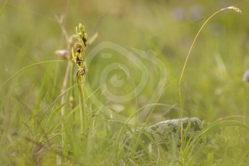 Fly orchid in a meadow scene - Nature Stock Photo Agency