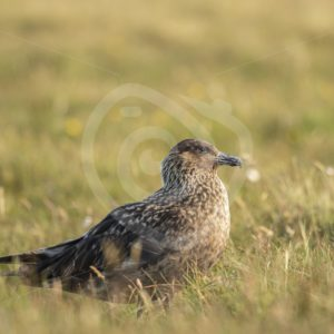 Great skua in the field - Nature Stock Photo Agency