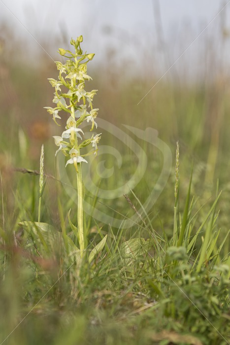 Greater butterfly-orchid in the field - Nature Stock Photo Agency