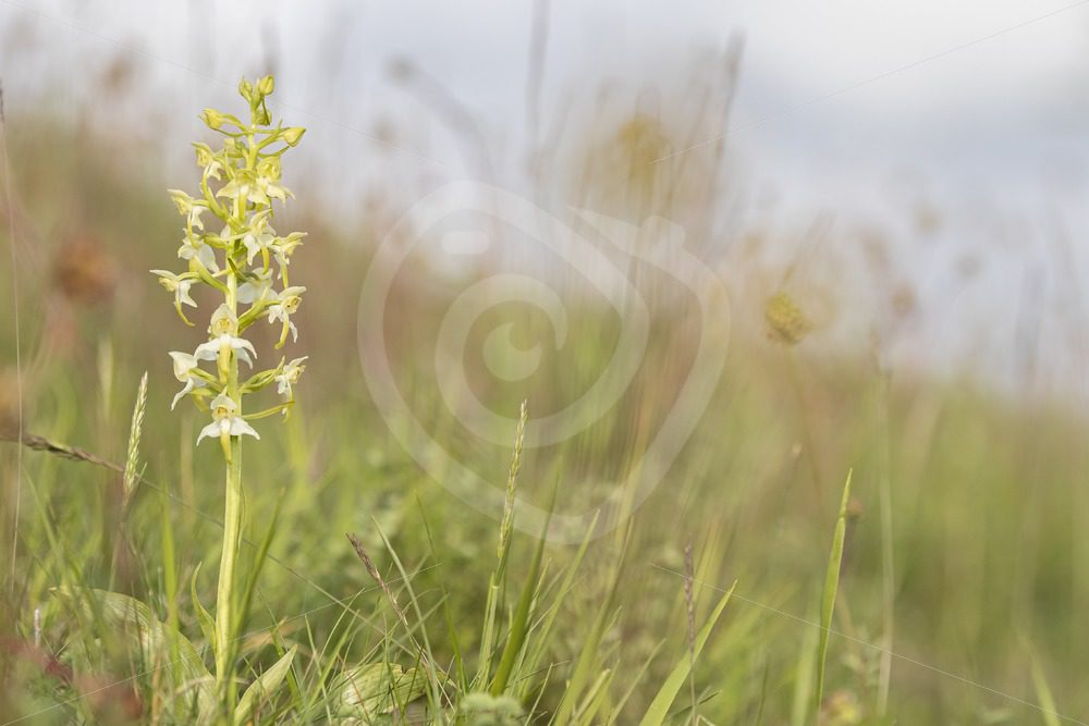 Greater butterfly-orchid in the region of Viroinval - Nature Stock Photo Agency